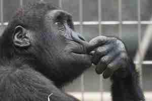 modern millionaire - chimp